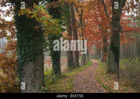 Alley of oak trees, Oldenburger Munsterland, Lower Saxony, Germany - Stock Photo