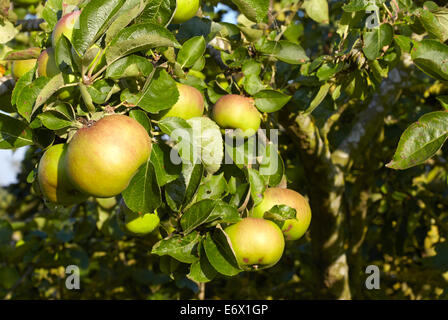 Bramley apples ripening on an old apple tree - Stock Photo