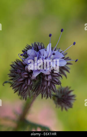 phacelia, also known as scorpionweed or heliotrope - Stock Photo
