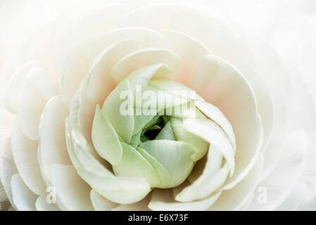 Close up of a white ranunculus blossom, Hamburg, Germany - Stock Photo