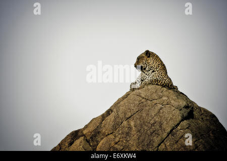Leopard lying on a rock, Sabi Sands Game Reserve, South Africa, Africa - Stock Photo