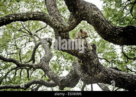 Leopard in an ebony tree, Sabi Sands Game Reserve, South Africa, Africa - Stock Photo