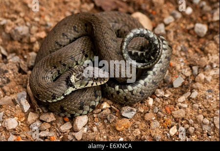 A grass snake (Natrix natrix), of it coiled up, is a Eurasian non-venomous snake. It is often found near water and - Stock Photo