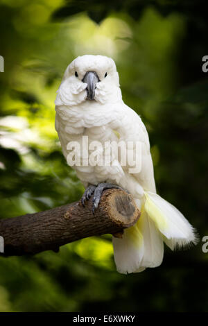 A full body view of a cockatoo sitting on a branch looking straight at the camera. - Stock Photo