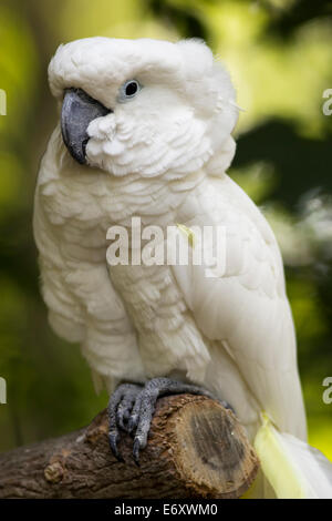 A full body view of a cockatoo sitting on a branch. - Stock Photo
