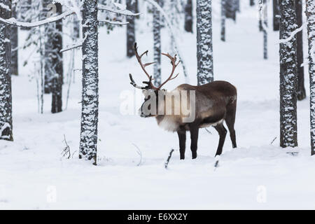 Reindeer in forest with snow on the trees and winter landscape - Stock Photo