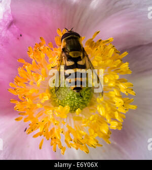 Hoverfly on pink flower - Stock Photo