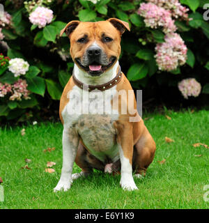 staffordshire bull terrier smiling and sitting - Stock Photo