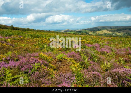 Heather and gorse in bloom on the slopes of The Stiperstones, Shropshire, England. - Stock Photo