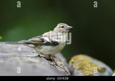 Adult female Chaffinch (Fringilla coelebs) standing on rocks - Stock Photo