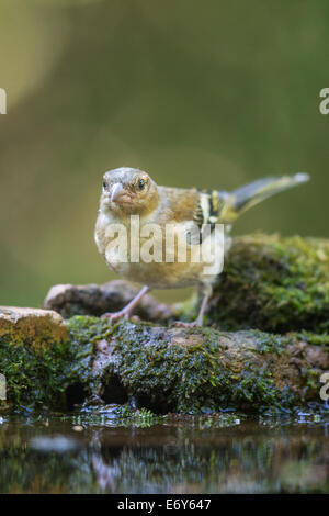 Adult female Chaffinch (Fringilla coelebs) - Stock Photo