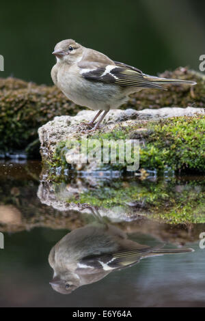 Adult female Chaffinch (Fringilla coelebs) at the edge of a pool - Stock Photo