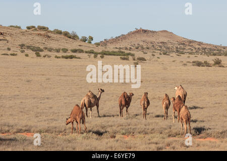 a herd of grazing camels on a gentle slope in the Outback of South Australia with in the background the peaks of - Stock Photo