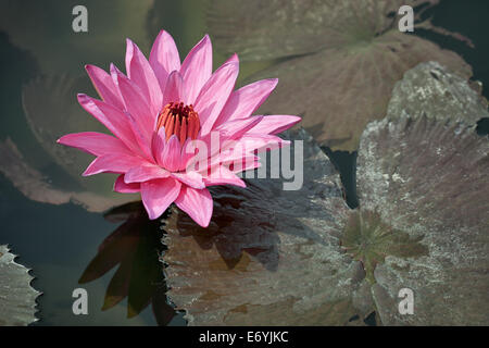 Pink water lily with brown leaves on the surface of a pond close up. Indonesia, Bali island - Stock Photo