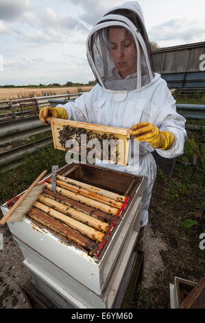 A woman beekeeper, dressed in protective clothing, looking after one of her bee hives - Stock Photo