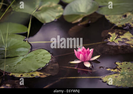 Lotus, Water Lily, Lily, Water, Pink, Pond, Underwater, Single Flower, Sun, Multi Colored, Red, Flower Head, hydrophyte, - Stock Photo