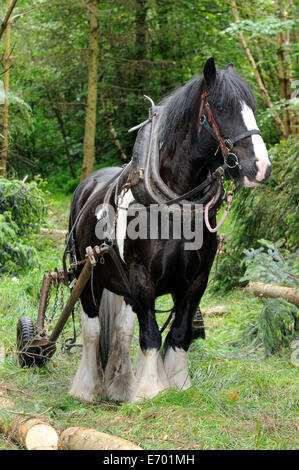 a black and white gypsy cob pulling timber using a forwarder - Stock Photo
