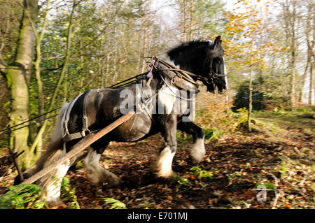 a black and white gypsy cob pulling timber up hill using a forwarder - Stock Photo
