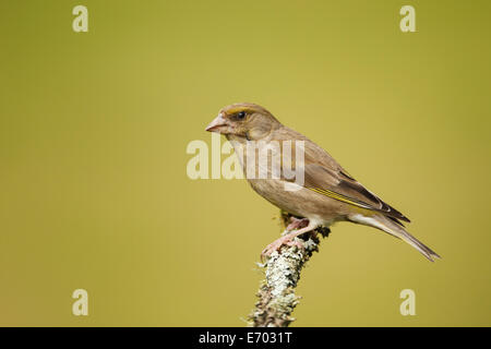Female Greenfinch perched on a lichen cover branch - UK - Stock Photo
