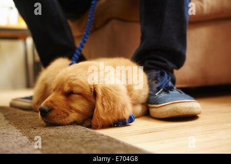 Labrador puppy asleep at feet - Stock Photo