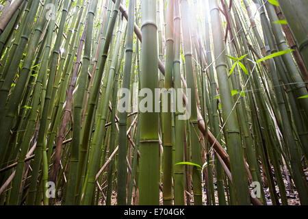 Detail of bamboo stems, Hana, Maui, Hawaii, USA - Stock Photo