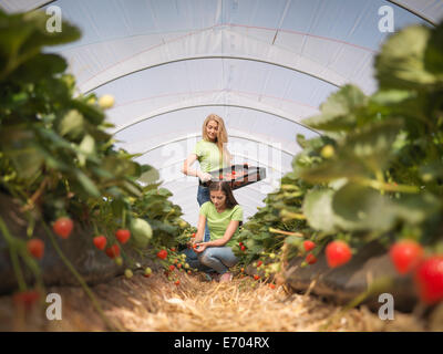 Workers picking strawberries in fruit farm - Stock Photo