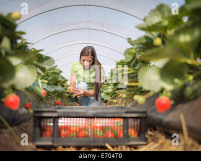 Worker filling tray of punnets with strawberries on fruit farm - Stock Photo