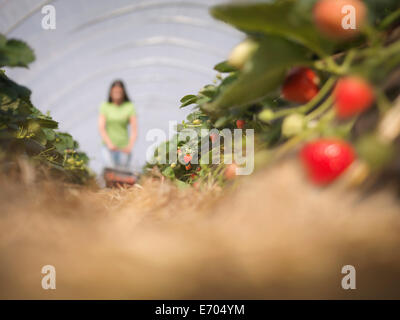 Worker picking strawberries on fruit farm - Stock Photo