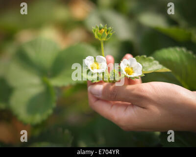 Close up of hands holding strawberry flowers in fruit farm - Stock Photo