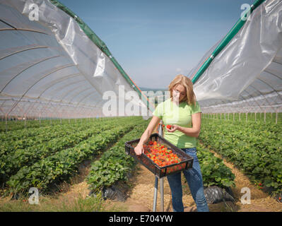 Worker checking strawberries on fruit farm - Stock Photo
