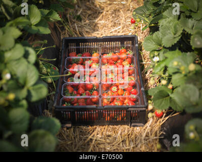 Tray of freshly picked strawberries in punnets on fruit farm - Stock Photo