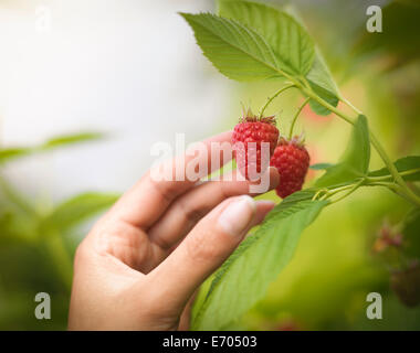 Hand picking raspberries in fruit farm, close up - Stock Photo