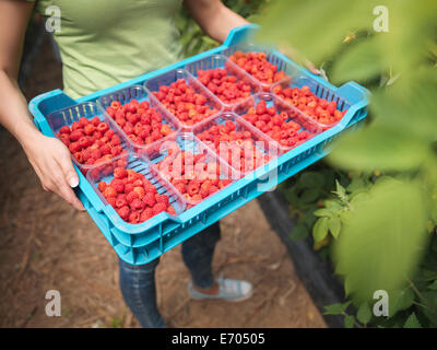 Worker holding tray of freshly picked raspberries in punnets on fruit farm - Stock Photo