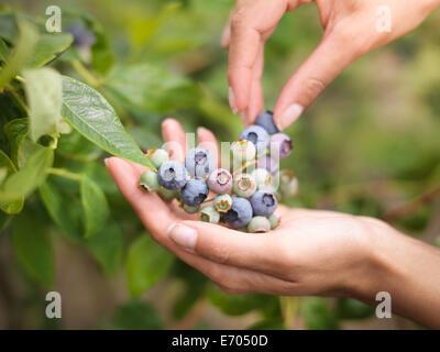Picking blueberries on fruit farm, close up - Stock Photo