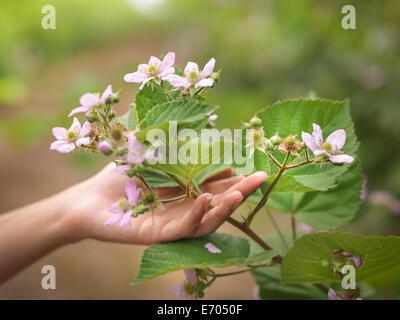 Hand holding blackberry flowers on fruit farm, close up - Stock Photo