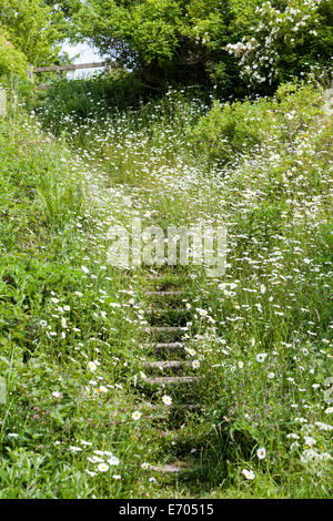 A path and steps with wild Ox Eye Daisy (Leucanthemum vulgare) wildflowers either side deep in the countryside