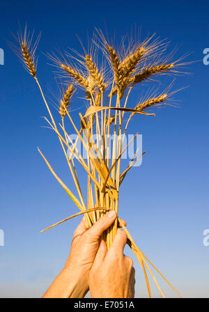 Close up of mature male hands holding up bunch of ripened wheat - Stock Photo