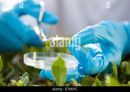 Close up of female scientist hands cutting leaf sample into petri dish