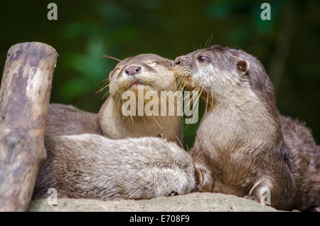 A pair of Oriental Short-Clawed Otters kissing - Stock Photo