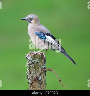 Jay (Garrulus glandarius) perched on the old wire fence post #3367 - Stock Photo