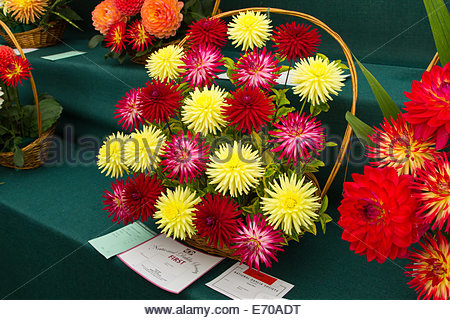 RHS Wisley, UK. 2nd September, 2014. First prize for a basket of Dahlias class in the National Dahlia Society Show. - Stock Photo