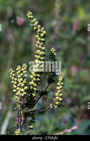 Small Ragweed plant and blossoms in Montague, MI, USA - Stock Photo