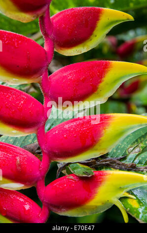 Heliconias flowers in the rain forest of Tingo Maria. Huanuco department. Peru. - Stock Photo