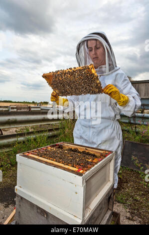 A woman beekeeper checking a frame from the brood box of her beehive, to check on the health of the colony and the queen