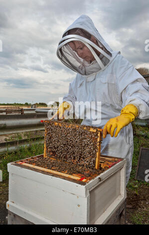 A woman bee keeper removing a frame from the brood box of her hive to check the health of the colony and the queen - Stock Photo