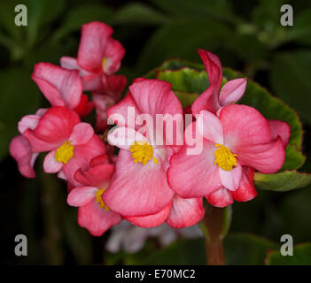 Cluster of bright pink / red flowers and deep green leaves of bedding begonias against a dark background - Stock Photo