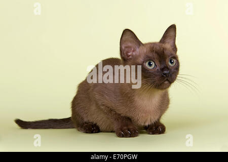 Burmese, cat breed, kitten, tomcat, 13 weeks, brown colour - Stock Photo