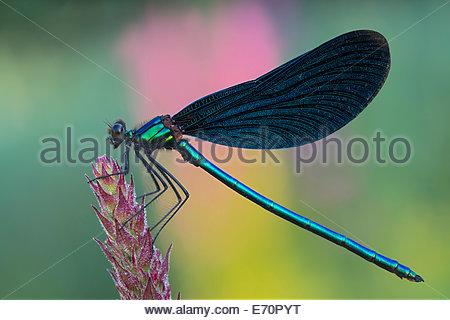 Beautiful Demoiselle (Calopteryx virgo), Burgenland, Austria - Stock Photo