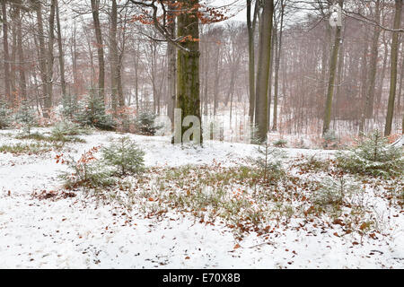misty winter forest in Harz mountains, Germany - Stock Photo