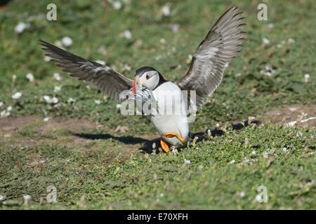 Puffin (Fratercula arctica) touching down with a beak overflowing with fish